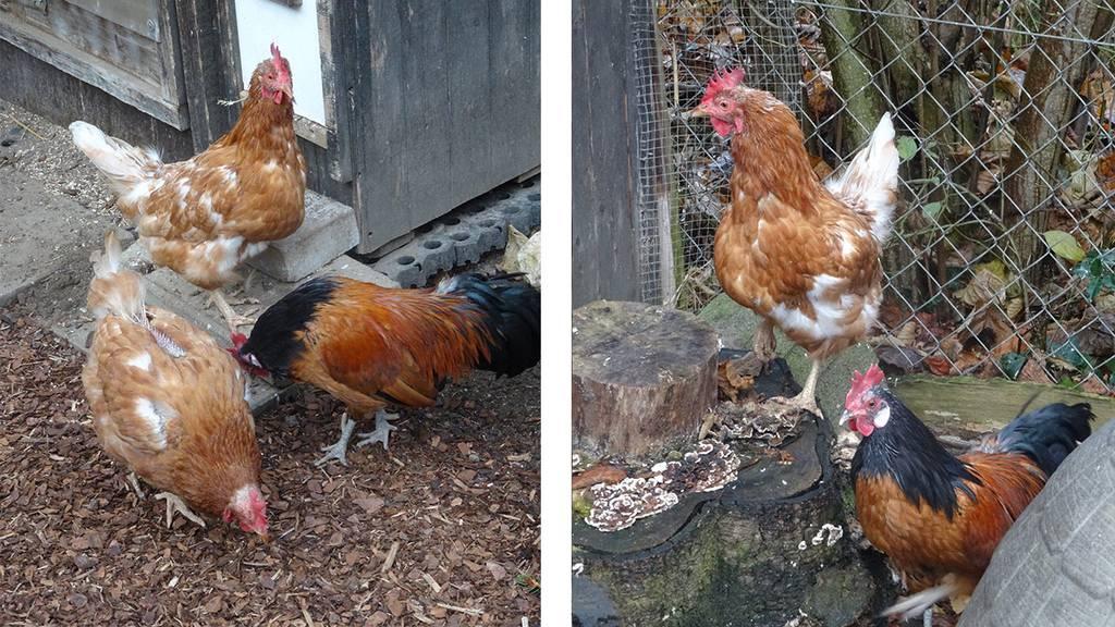 """Zwerghahn """"Junior"""" mit zwei Hühnern"""