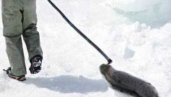 Ein Robbenjäger in Kanada: Die Grosse Kammer will den Import von Robbenprodukten verbieten (Symbolbild)