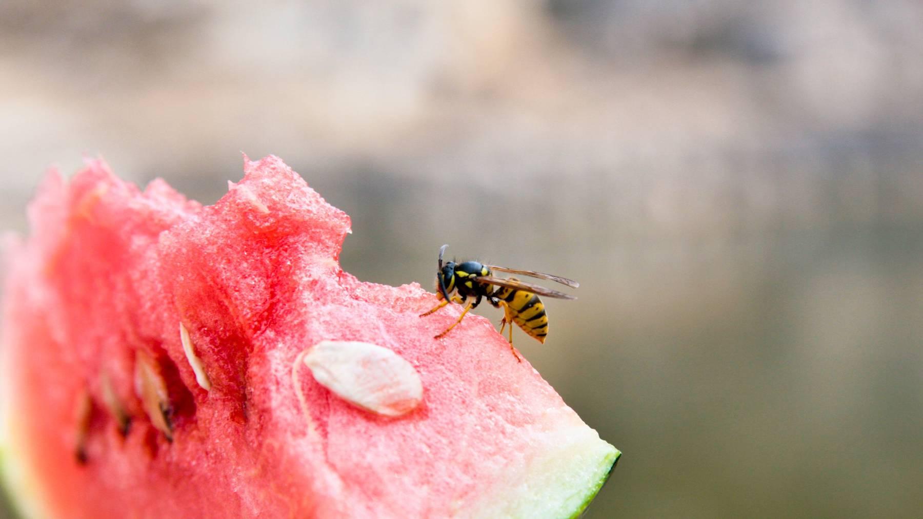 Gefährlich: Wespen stürzen sich ab August auf alles Süsse