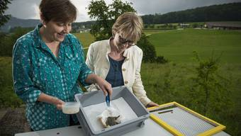 Susanne Stocker (links), freiwillige Helferin in der Oftringer Vogelpflegestation, füttert Bachstelzen mitFliegenmaden. Birdlife-Vorstandsmitglied Gertrud Hartmeier schaut zu. Annika Bütschi