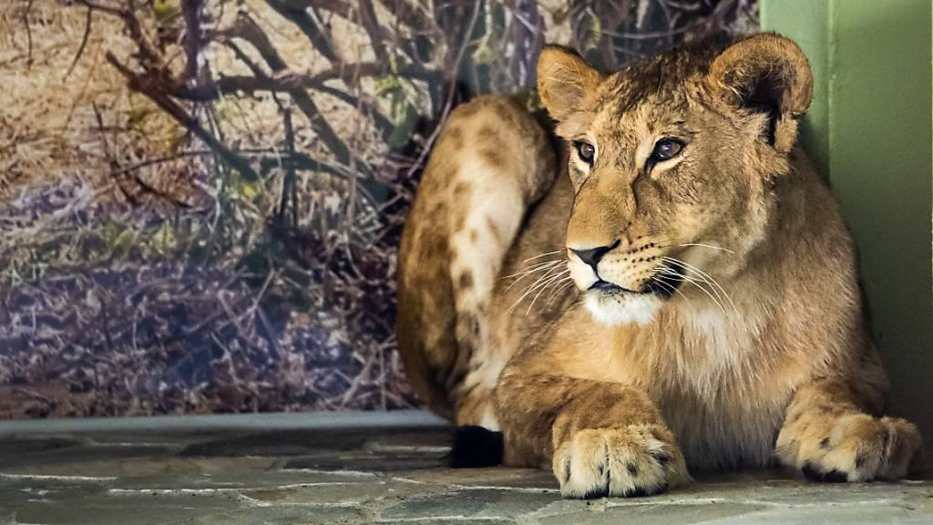 Die Löwin Malkia wird sich möglicherweise schon am Wochenende zusammen mit dem Löwen Makuti den Zoobesuchern im Aussengehege zeigen. Zurzeit sind die beiden Junglöwen noch durch ein Gitter getrennt, um sich langsam aneinander gewöhnen zu können.