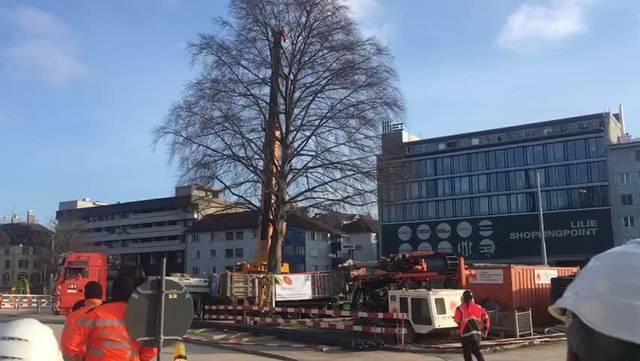 Der Baum legt die ersten Meter zurück.