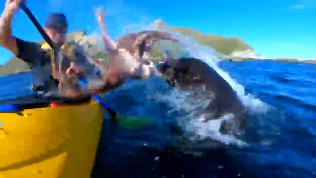Robbe wirft Tintenfisch nach Kajakfahrer