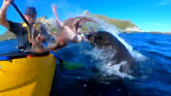 Feucht-glibberige Klatsche: Hier wirft die Robbe einen Tintenfisch nach einem Kajakfahrer
