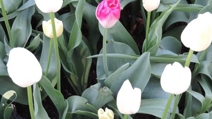 Eine rosafarbene Tulpe umgeben von sieben weissen steht für die eine Frau von acht, die an Brustkrebs erkrankt.