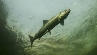 Einmal ausgewachsen, möchten im Raum Basel aufgewachsene Lachse zurück – bald geht das.