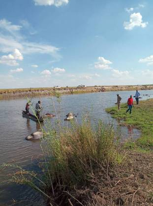 Im Fluss Chobe sind mehr als 400 Büffel ertrunken.