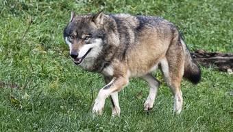 Das Parlament will den Schutz des Wolfs im revidierten Jagdgesetz lockern. Der Bundesrat empfiehlt ein Ja. (Archivbild)
