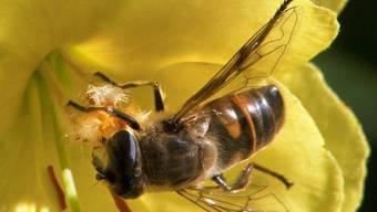 Pestizide stören den Orientierungssinn von Bienen (Symbolbild)