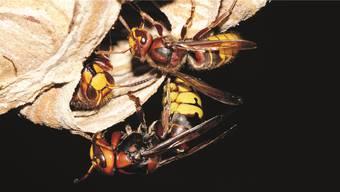 Von wegen drei Hornissenstiche töten einen Menschen: Über 10000 wären wohl nötig. Nicht einmal so gefährlich wie eine Biene ist die Hornisse.