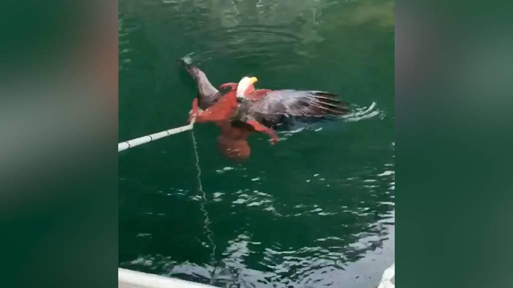 Glück im Unglück: Seeadler gefangen in den Armen eines Kraken - befreit