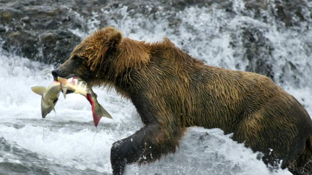 Der Import von Fisch in die Schweiz ist in den letzten acht Jahren um 5 Prozent gestiegen. Einen regelrechten Bärenhunger entwickelten Konsumenten auf Lachs: Von diesem mittlerweile erschwinglich gewordenen Luxusprodukt wurde fünf Mal mehr eingeführt als 2012. (Symbolbild)