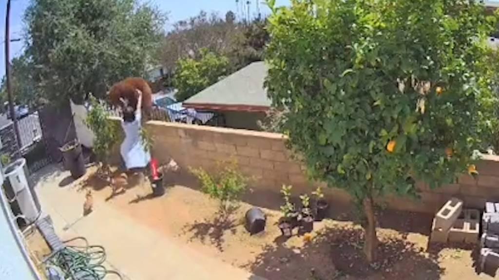 Um ihre Hunde zu retten: Frau schubst Bär von Gartenmauer