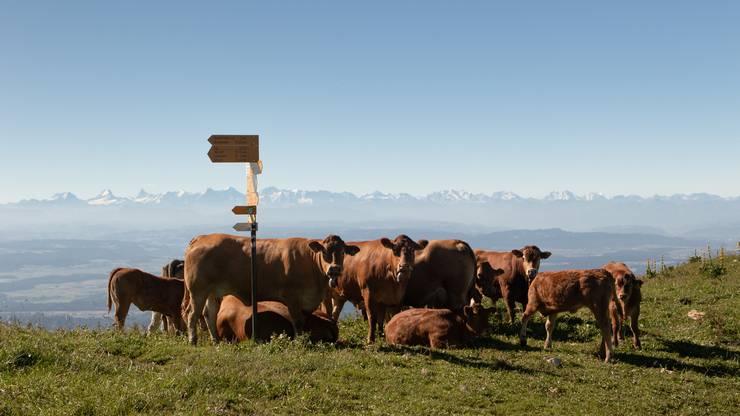 Als ich nach langer Wanderung den Blick hochrichtete, begrüsste mich diese Kuhherde. Was für ein Panorama!
