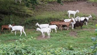 Die Jäger konnten nicht ahnen, dass im Wald Ziegen auf freiem Fuss sind. (Symbolbild)