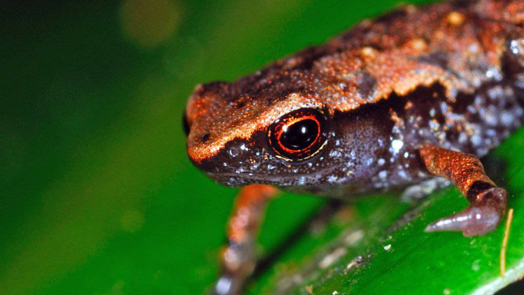 Einige der in den letzten Jahren auf Madagaskar neu entdeckten Froscharten sind nur acht bis neun Millimeter gross.