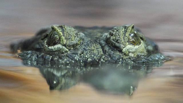 Das Kind wurde offenbar Opfer eines Krokodils (Symbolbild)