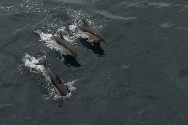 Kurz vor der Ankunft tauchen neben unserem Schiff hunderte Delfine auf. Neben dem Grillfest auf offener See (siehe Kolumne) ein weiterer Höhepunkt unserer Atlantiküberquerung