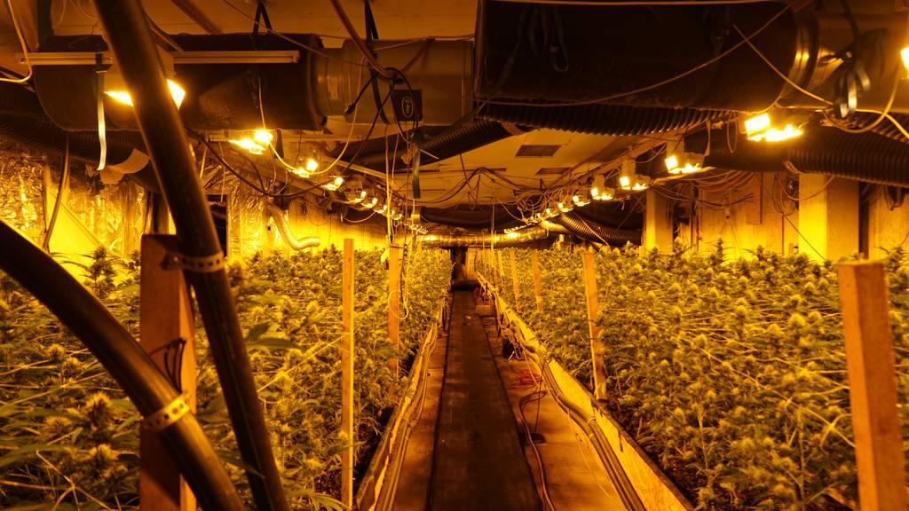 Professionelle Hanfanlage entdeckt: 300 Kilogramm Marihuana beschlagnahmt