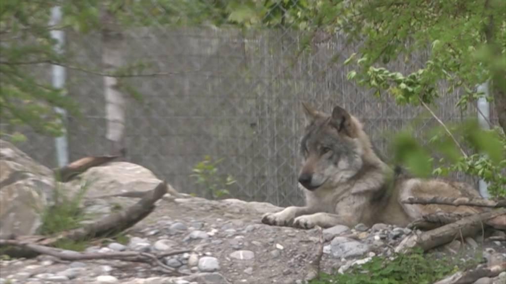 Jagdgesetz: Abstimmungskampf spitzt sich nach Schafrissen zu