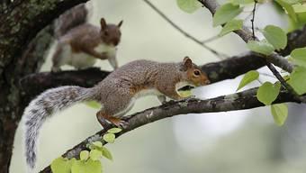 In luftiger Höhe rettete die Feuerwehr aus dem deutschen Landshut am Samstag vier neugeborene Eichhörnchen. (Symbolbild)