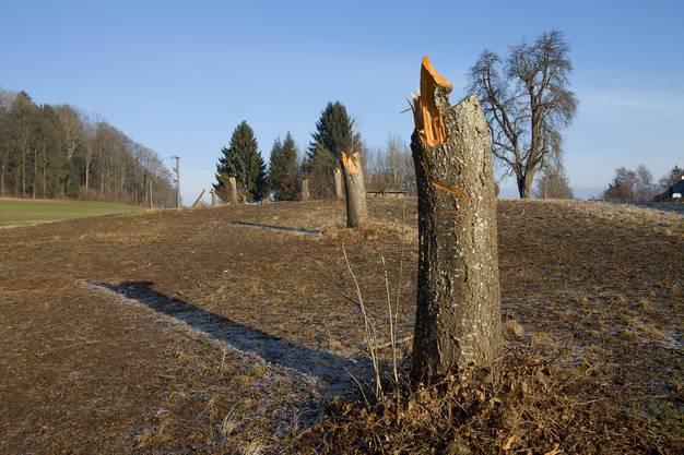Bauern fällen in Hallwil zwei Dutzend Obstbäume