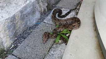 Die Schlange, die in Flüelen gefunden wurde, dürfte eine Boa Constrictor sein.