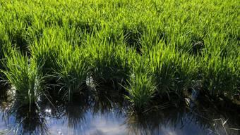 Pflanzen - hier Reis - gewinnen durch Photosynthese Energie. Bisher glaubte man, dass sie beim Weitertransport der Energie ins Zentrum Quanteneffekte nutzen, also eine Varietät von Transportwegen. Das wurde jetzt widerlegt. (Archivbild)