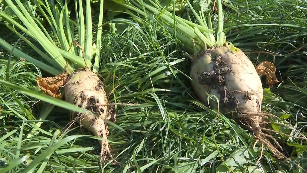 Zuckerrüben-Einbussen von «rund 50 %»: Pflanzer fordern Gaucho-Notzulassung