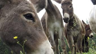 Im Kanton Graubünden ist ein Esel von Wölfen gerissen worden (Themenbild)