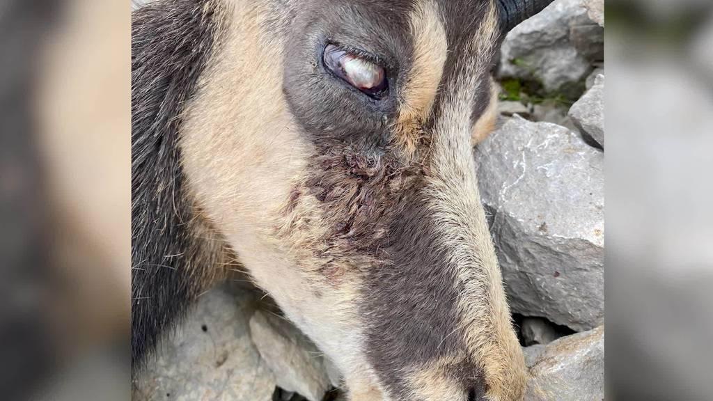 «Ausgelaufene» Augen und blinde Tiere: Im Alpstein geht die Gamsblindheit um