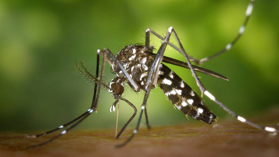 Asiatische Tigermücken in Zürich gefunden
