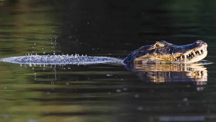 Im vergangenen Sommer hat ein Fischer einen Kaiman im Hallwilersee beobachtet. Ein Bild des Reptils existiert nicht. (Symbolbild)