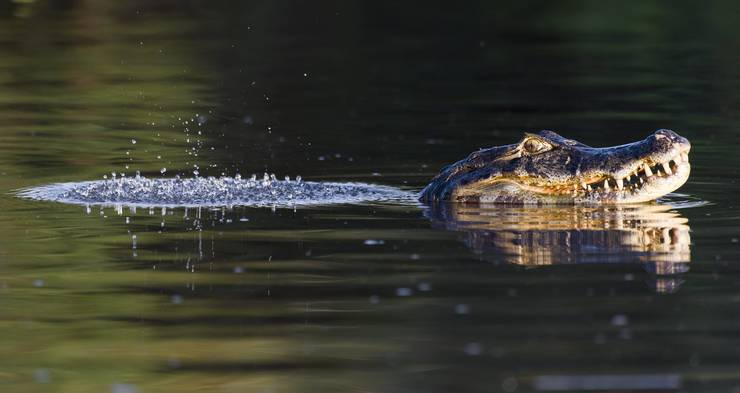 Noch immer ist unklar, ob in dem See ein Kaiman schwimmt. (Symbolbild)