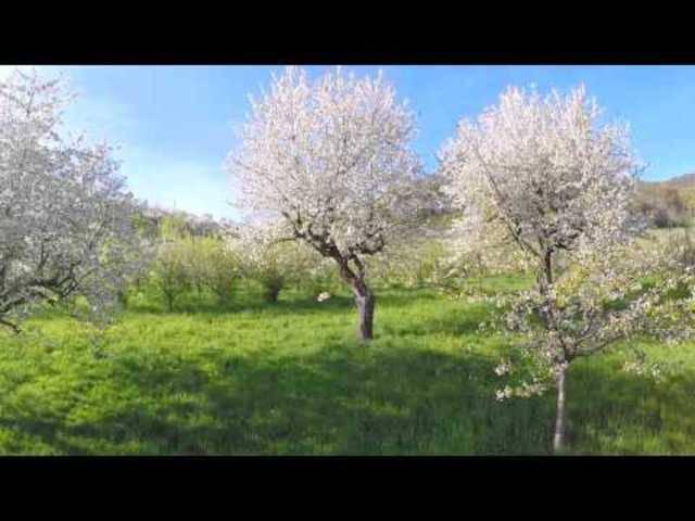 Bluescht: Baselland im Blütenzauber