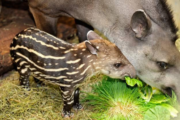 Der Flachlandtapir ist eine der heute lebenden vier Tapir-Arten.