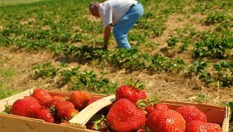 Erdbeeren liegen schon länger bei uns in den Läden. Haben Schweizer Exemplare aber jetzt schon Saison?