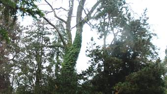 Stadtgärtner Siegfried Peier vor einem kranken Baum im Francke-Gut.