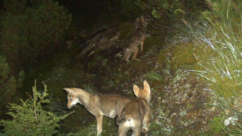 Zwei Wölfinnen werden überfahren und sterben