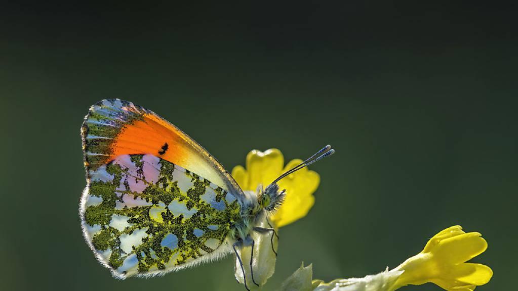 Die Männchen des Aurorafalters (Anthocharis cardamines) sind bunt gefärbte Vertreter der sogenannten Weisslinge. Den Weibchen fehlt die auffällige orange Flügelfärbung.