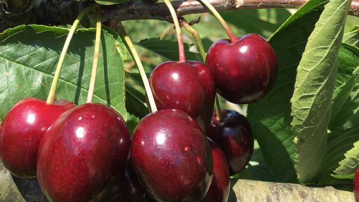 Erfolgreiche Ernte: Es gab nicht nur mehr Kirschen als im Vorjahr, die Früchte waren auch deutlich grösser.