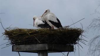 Der Storch ist zurück im Schutzgebiet «Machme». Anja Probst