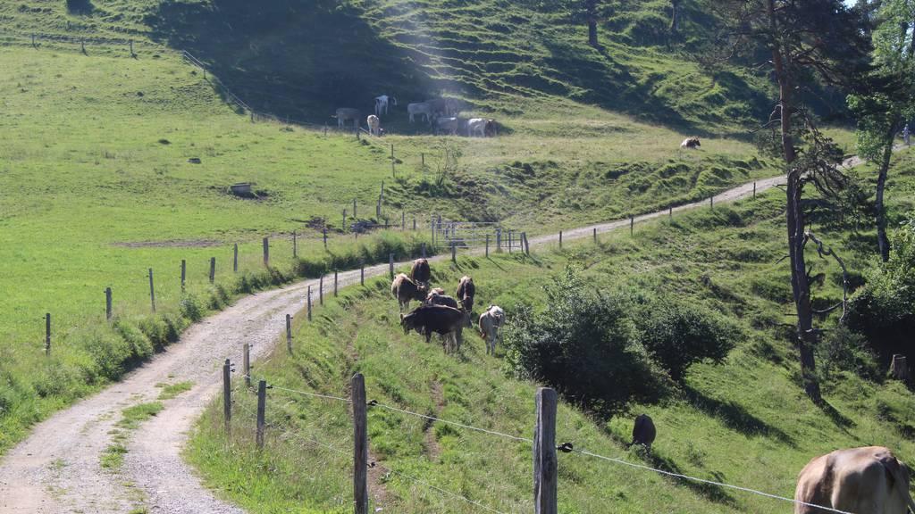 Deshalb kann es diesen Sommer vermehrt zu Kuhattacken kommen