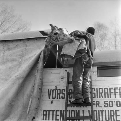 Auch die Giraffe kehren in ihr Winterquartier zurück.