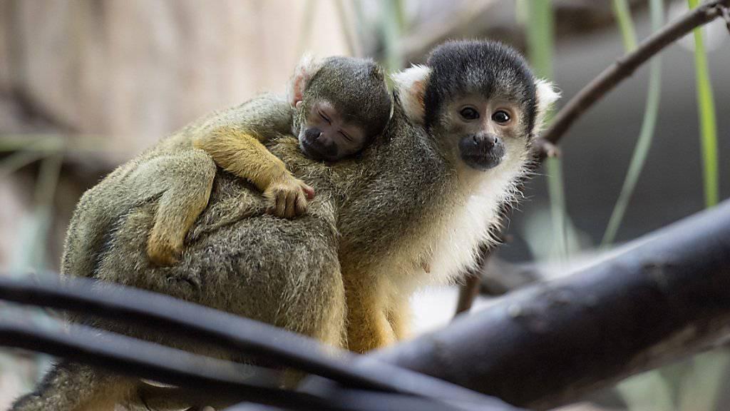 Ein junges Totenkopfäffchen klammert sich im Zoo Basel auf dem Rücken seiner Mutter fest.