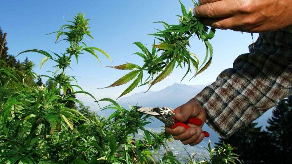 Hanf mit einem THC-Gehalt ab 1,0 Prozent gilt seit 2011 als Droge. Ein Toggenburger Hanfbauer kämpft gegen eine Verurteilung und für die Erhöhung des Grenzwertes. (Archivbild)