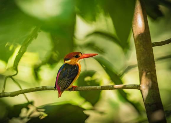 Auch der Orientalische Eisvogel verspeist gern Fische.   Bild: Manoj Narayanan