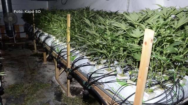 3000 Hanfpflanzen sichergestellt
