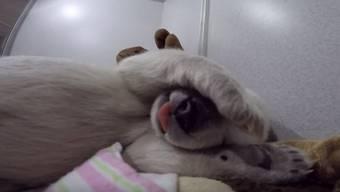 Die lustigen Geräusche sind laut den Pflegern ein Zeichen für Zufriedenheit. Kein Wunder, das Eisbärenmädchen bekommt sechsmal täglich Futter.