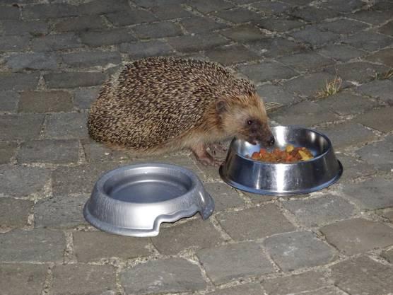 Unser Hausigel kommt gerne für einen Snack vorbei!